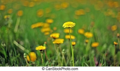 Dandelions among green grass, focus on flower at foreground