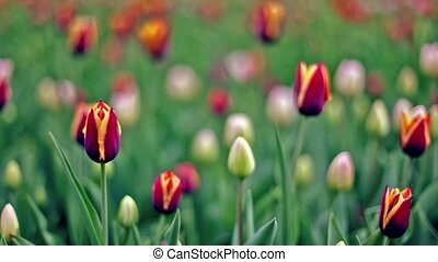 Lot of tulips on field, focus on flower at foreground