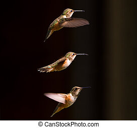 rufous hummingbird - Female rufous hummingbird close up
