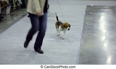 Women run with dog breed of artuazskaya hound on leashes at contest