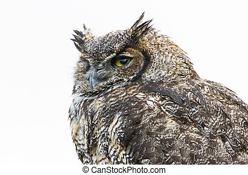 Great Horned Owl close up shot, BC Canada