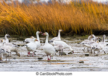 Snow Goose, migratory bird close up
