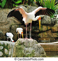 Stork bird close up