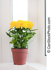 Yellow chrysanthemums on a window sill