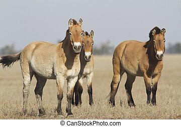 Herd of Przewalski's horses in the Ukrainian steppes. - Herd...
