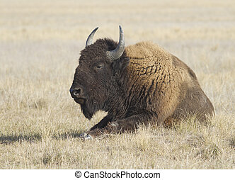 Male buffalo resting in the steppe - Male buffalo resting in...