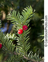 Sprig of yew (Taxus baccata) with red berries. - Green twig...
