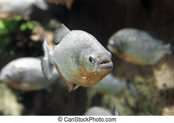 piranha fish underwater