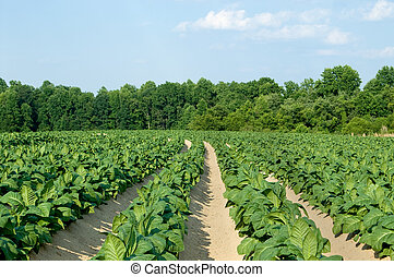 Tobacco Field - Healthy tobacco plants on a farm field.