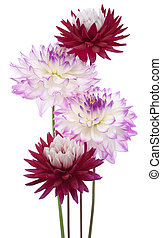 dahlia - Studio Shot of Magenta and Red Colored Dahlia...