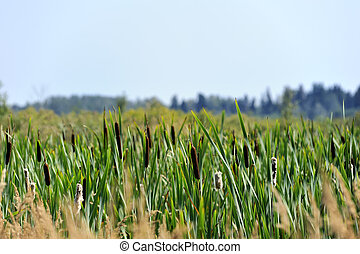 Reeds in the marsh