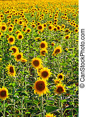 Sunflowers in a field - Large field of beautiful sunflowers...