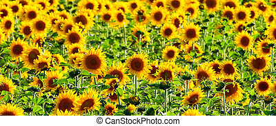 Field of sunflowers - Panoramic image of sunflowers in...