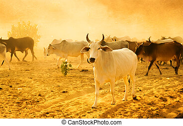 Herd cattle - Cows grazing in the desert of Rajasthan, India