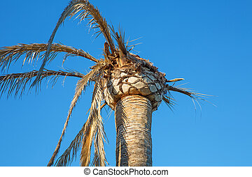 palm tree - dead palm tree over blue sky background