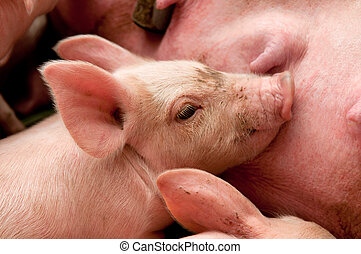 little piglet and adult pig