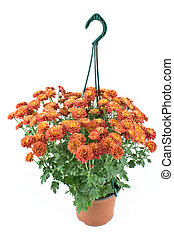 Hanging pot with red chrysanthemum flowers
