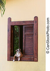 Guard Dog - A dog peers out of a old fashioned colonial...