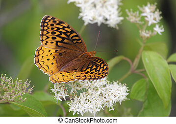 Great Spangled Fritillary Butterfly Speyeria cybele on...