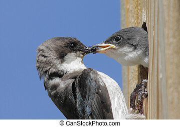 Tree Swallow Feeding Baby - Mother Tree Swallow (tachycineta...