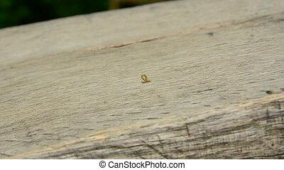 Small worm crawling on wood, inchworm