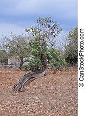 carob tree Ceratonia siliqua outside in summer - carob tree...