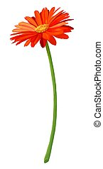 Fresh Orange Gerbera Flower in Full Blossom - Hand Drawing,...