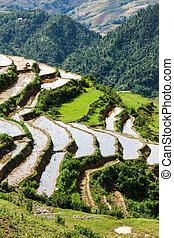 Rice field terraces. Near Sapa, Vietnam - Rice field...