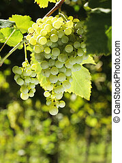 bunch of grapes - A bunch of growing green grapes.