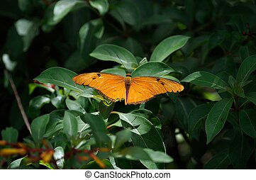 Julia Butterfly - Dryas Iulia, commonly called Julia...