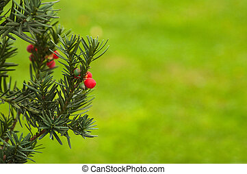 Florida yew - Christmas branch of juniper with red berries