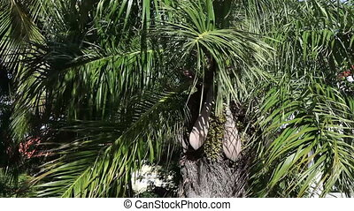 Date palm-tree with fruit.