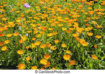 medical herbs calendula blossoming in garden - medical herbs...