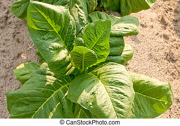 Tobacco Plant - A healthy tobacco plant on a farm field.