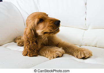 puppy a cocker - a spaniel
