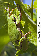 European Tree Frog or Hyla arborea climbing on a vine leaf