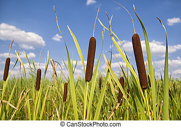Bullrushes or cattails against a beautiful blue sky with...