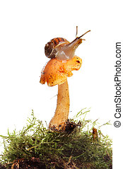 Snail on Toadstool - Snail sitting on a toadstool growing in...