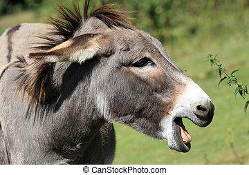 Equus africanus asinus - Asinus is a domesticated member of...