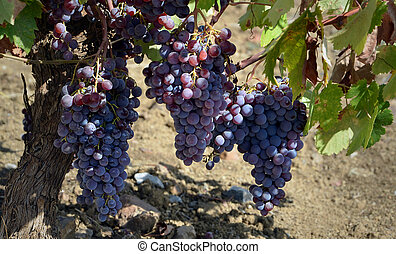 vines - grapes in a vineyard Spanish