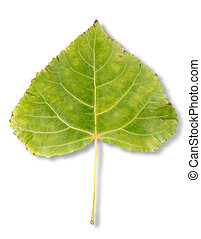 Autumn leaf poplar - Poplar leaf isolated on a white...