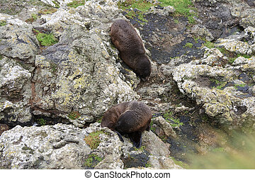 Fur seals near the water - Two fur seals on the rocks