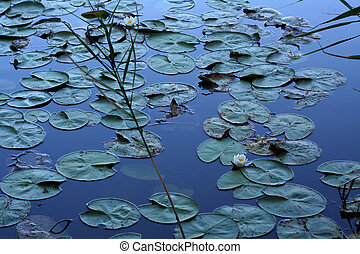 Water lilies in the water, dark colors