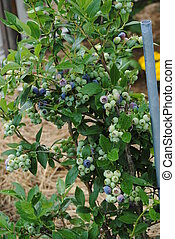 Blueberry Bush - A Duke variety of blueberries. It's a mid...