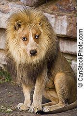 Lion With Dog Face. - Crazy looking lion with dog face.