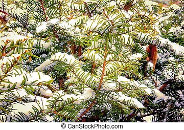 Yew Branches in the Winter Snow