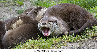 Asian Small Clawed Otter - Say Ahh, Asian Brown Small Clawed...