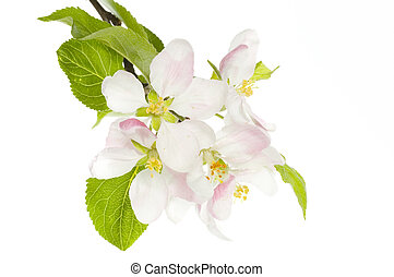 Apple Blossom Isolated Over White