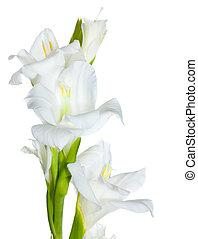 hermoso, blanco, gladiolo