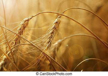 dourado, trigo, orelhas